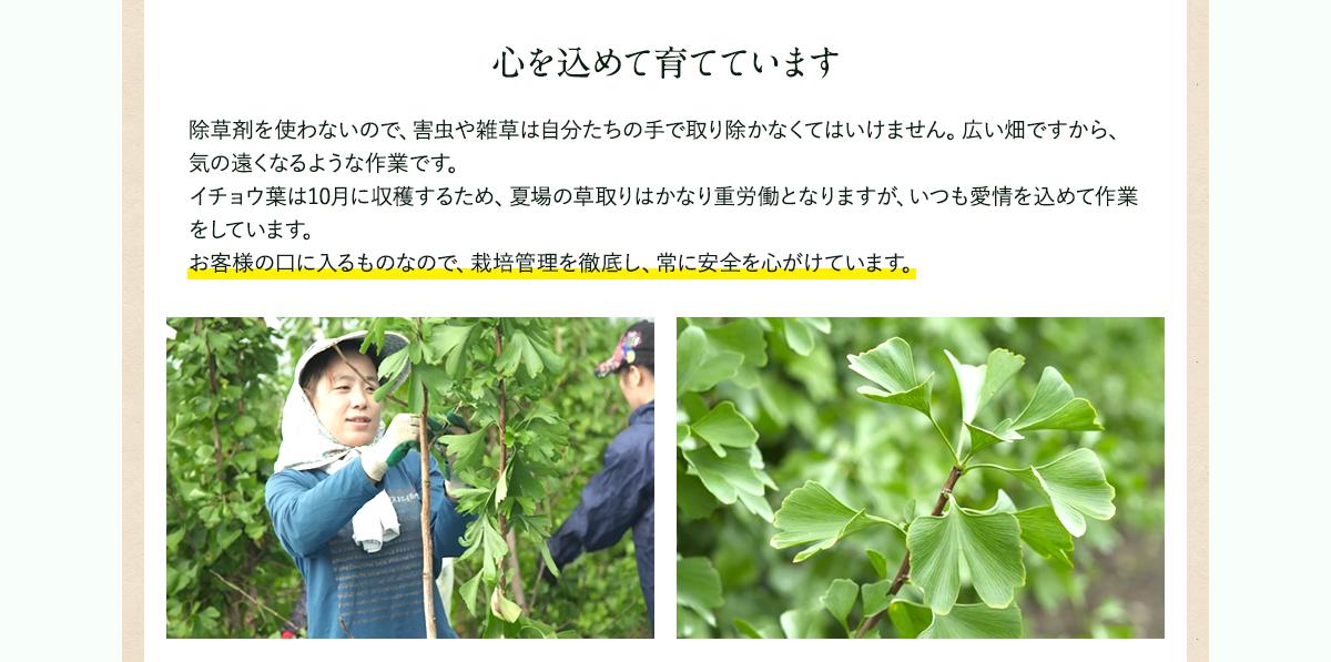 イチョウ葉 栽培管理