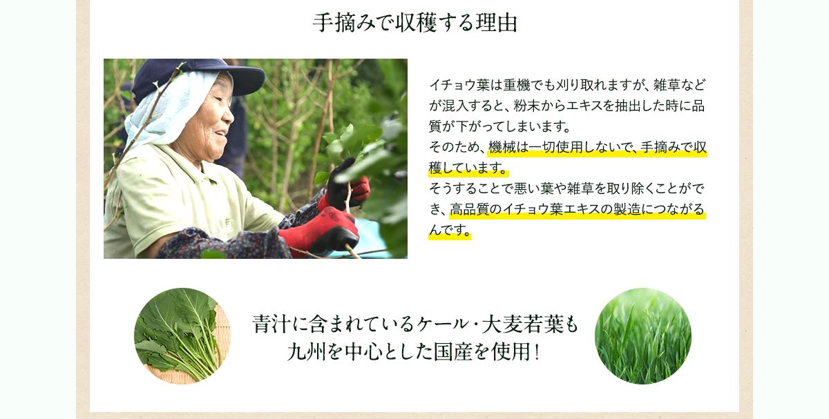 イチョウ葉 手摘みで収穫する理由